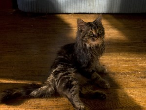 Harlequin ~ one of our Maine Coon mix kitties
